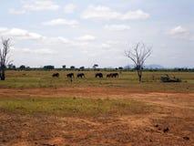 Słonie w Tsavo Zdjęcia Stock