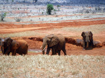 Słonie w Tsavo Fotografia Stock