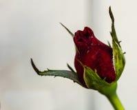S'ouvrir juste du bourgeon rose rouge image libre de droits