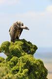 Sęp na drzewie Obrazy Stock