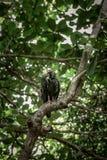 Sęp w drzewach Obrazy Stock
