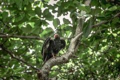 Sęp w drzewach Zdjęcie Royalty Free