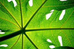s papaya liści obrazy stock