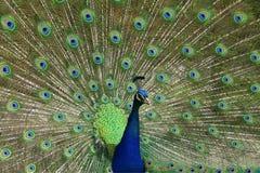 s pawi ogon Fotografia Royalty Free