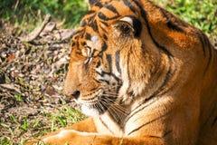 Royal Bengal Tiger - A Roar. It`s a photo of Royal Bengal Tiger - A Roar, head view stock photography