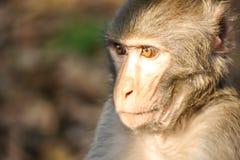 Head of A Monkey stock photos