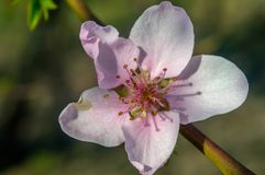 It`s pink spring. Today! Our Peach tree is blooming in nice pink colors Stock Photos