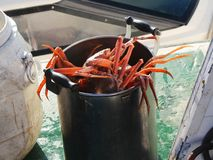 Live snow crabs & x28;Chionoecetes opilio& x29; in huge pan on the deck of tourist boat. stock image