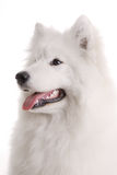 s psi samoyed Obrazy Stock