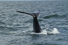 S R Tail. A Southern Right whale fluking Stock Images