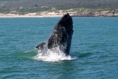 S R W Breaching 2. A southern right whale BREACHING near the beach. a common behaviour of this specie Royalty Free Stock Photo