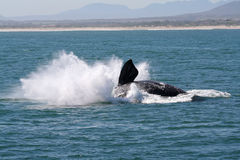 S R W Breaching 6. A southern right whale BREACHING near the beach. a common behaviour of this specie Stock Photography