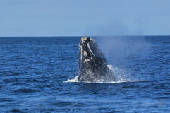 S R Walker Bay Breach. A southern right whale breaching, taken at ,Hermanus,South Africa Royalty Free Stock Photo