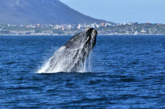 S R Walker Bay Breach 4. A southern right whale breaching, taken at ,Hermanus, South Africa Stock Photo