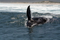 S R Whale playing in the surf. A 45 ton  southern right whale playing in the surf near Hermanus South Africa Royalty Free Stock Photography