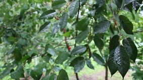 It's raining on the cherry-tree. 's leaves stock video footage