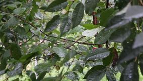 It's raining on the cherry-tree. 's leaves stock video