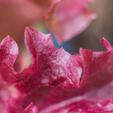 It's A Red Lettuce Day Royalty Free Stock Images