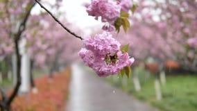 S?rie de fleurs au printemps : Fleurs des fleurs roses de cerise dans de petits groupes sur un balancement de branche de cerisier banque de vidéos