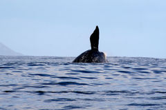 S Right Whale Breaching  3/3 Stock Image