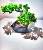 s?rjer den vintergr?na miniaturen f?r bonsai treen arkivfoto