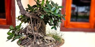 s?rjer den vintergr?na miniaturen f?r bonsai treen arkivbild