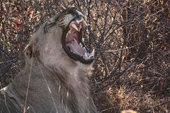 It's a roar, it's a yawn. Fully satisfied bachelor lion shows off his oral hygiene Royalty Free Stock Image