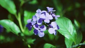 ` S Rocket de dame de matronalis de Hesperis Fin bleue de fleur vers le haut banque de vidéos