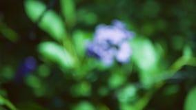 ` S Rocket de dame de matronalis de Hesperis Tache floue bleue de fleur clips vidéos