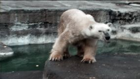 1970s, Rome, Italy - Vintage video shot on Rome zoo. Dancing polar bear stock footage