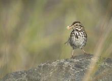 ` S Savannah Sparrow de Belding Image stock
