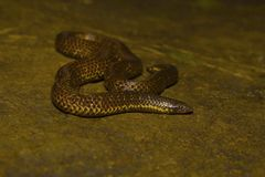 ` S Shieldtail, ellioti d'Uropeltis, Uropeltidae d'Elliot Kolhapur, maharashtra Image libre de droits