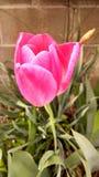 Sąsiedztwo tulipan Obrazy Royalty Free