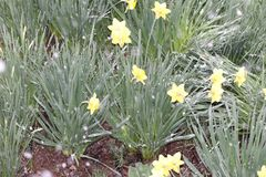 It`s snowing and beautiful yellow daffodils remained under the snow royalty free stock photos