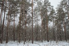 It`s snowing in the overcast pine forest stock photography