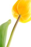 It's spring!. Close-up of a beautiful yellow tulip. It's spring, you feel it when you see this image Stock Photography