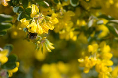 It's spring!. Honey bee hangs upside down from the petals of a sweet smelling yellow flower Stock Images