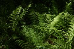 Fern in the forest royalty free stock photography