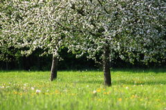 Fruit apple trees on a meadow in spring Royalty Free Stock Photo