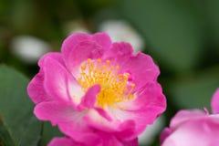 ` S stame-Rosa Jacq chinensis del fiore Fotografia Stock Libera da Diritti