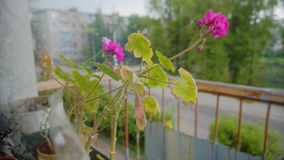 It`s starting to rain outside. The weather is unpredictable. The camera shoots large flowers standing on the balcony. Flowers bend and sway in the wind stock video