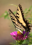She's a Tiger. The Tiger Swallowtail, at 5 1/2 long, is one of North America's most spectacular butterflies Royalty Free Stock Photography