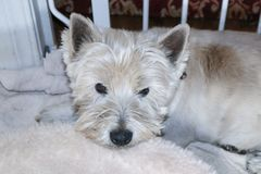 Time for the groomers - Dirty Westhighland White Terrier dog lying on bed by dog gate stock photography