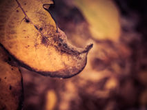 Brown Leaf Changing Seasons. Changing of color of leaves at sunset royalty free stock photos