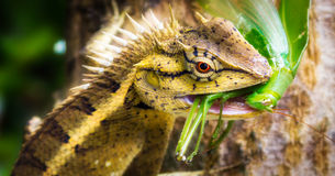 It's time to eat. The lizard caught and ate the locusts Royalty Free Stock Photo