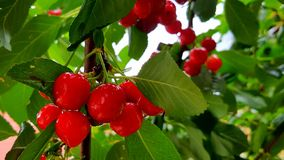 Ripe, fresh, juicy and delicious cherry ready for harvesting.. royalty free stock photos