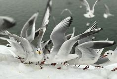 `It`s time to take off !`. On a cold winter day when the earth`s surface covered by snow, the seagulls were looking for the seeds and pieces of breads but one of Stock Image