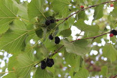 It`s time to tear off the black delicious mulberry tree. Stock Images
