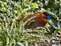 ` S Tragopan Temminck, temminckii Tragopan, вероятно самый красивый фазан стоковое фото rf