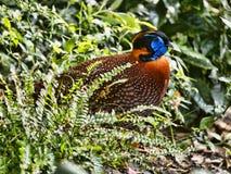 ` S Tragopan Temminck, temminckii Tragopan, вероятно самый красивый фазан стоковые изображения